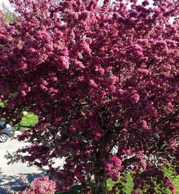 Crab apple Tree 2