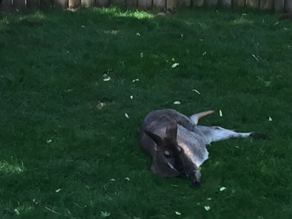 Loved this Kangaroo who was just 'chilling' in the heat