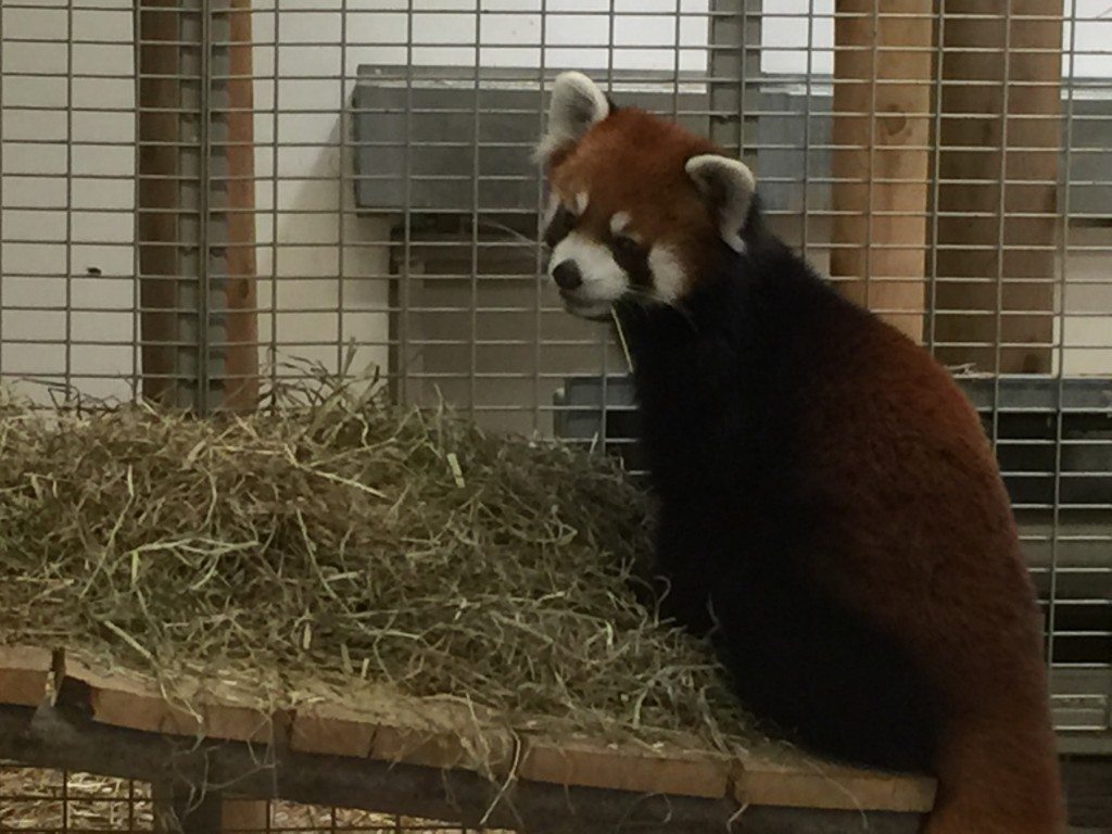 This Red Panda was too cute...