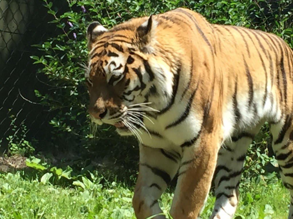 Up close & personal (through the glass!) with this beautiful Tiger